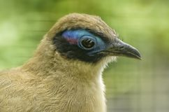 Giant Coua, Coua gigas, a bird species from the coua genus in the cuckoo family. Exotic Tropical Bird. Close up stock image