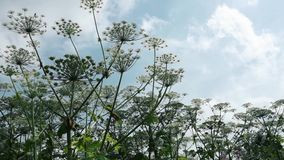 Giant cow parsnip blooms panorama. giant hogweed harm to fields and agriculture poisonous weed