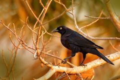 Giant Cowbird, Molothrus oryzivorus, black bird from Brazil in tree habitat. Wildlife scene from nature. cowbird sitting on branch Royalty Free Stock Images