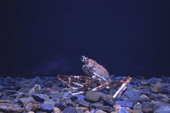 Giant crab Royalty Free Stock Images