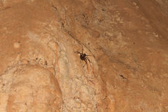 Giant Crab Spider Heteropda vanatoria on wall in a cave Stock Photography