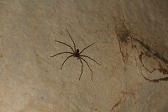 Giant Crab Spider Heteropda vanatoria on wall in a cave. Giant Crab Spider - Heteropda vanatoria -on wall in a cave in Laos Stock Photography
