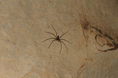 Giant Crab Spider Heteropda vanatoria on wall in a cave. Giant Crab Spider - Heteropda vanatoria -on wall in a cave in Laos Stock Photos