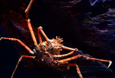 Giant crab. Spider crab on a sea on aquarium - Giant spider crab emerging from the sea between rocks on the sea shore stock images