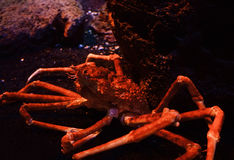 Giant crab. Spider crab on a sea on aquarium - Giant spider crab emerging from the sea between rocks on the sea shore royalty free stock image