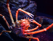 Giant crab. Spider crab on a sea on aquarium - Giant spider crab emerging from the sea between rocks on the sea shore stock photography