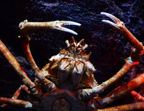 Giant crab. Spider crab on a sea on aquarium - Giant spider crab emerging from the sea between rocks on the sea shore stock photos