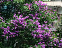 Giant Crape-myrtle flowers blooming in Halong, Vietnam Royalty Free Stock Image