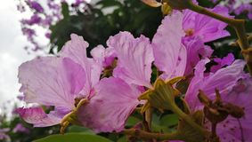 Lagerstroemia speciosa in Hong Kong royalty free stock photos