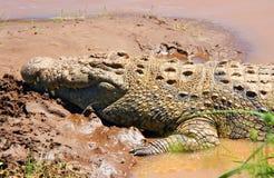 Giant Crocodile Royalty Free Stock Images