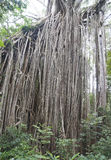 Giant curtain Fig tree Stock Photography