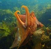 Giant Cuttlefish Stock Photo