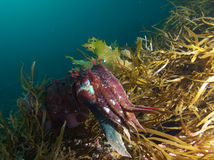Giant cuttlefish and the sea weeds Stock Photos