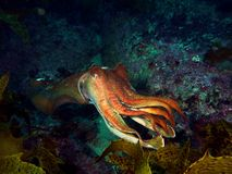 Giant Cuttlefish. (Sepia apama) reaching with its tentacles Royalty Free Stock Photo