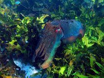 Giant Cuttlefish Royalty Free Stock Photography