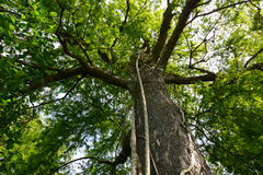 Giant cypress tree with strangler fig Royalty Free Stock Images