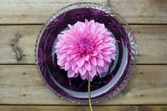 Giant dahlia flower on a plate Royalty Free Stock Image