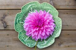 Giant dahlia on a plate Royalty Free Stock Image