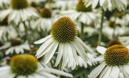 Giant daisies. Kew Gardens. This image shows giant daisies. It was taken at the Kew Gardens in London Royalty Free Stock Photo