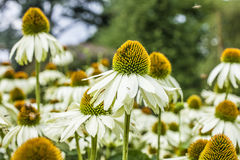 Giant daisies in the sun. This image shows some giant daisies in the Kew Gardens in London. It was taken on a sunny day in August 2017. There`s a bee visible Stock Image