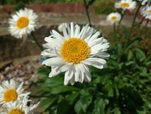 Giant daisy royalty free stock photos