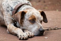 Giant dalmatian dog chained stock photo