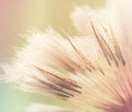 Giant dandelion colorful background royalty free stock images
