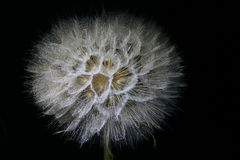 Giant Dandelion Stock Images