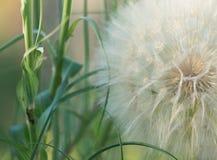 Giant Dandelion Macro stock photography