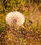Giant Dandelion Puff Royalty Free Stock Image