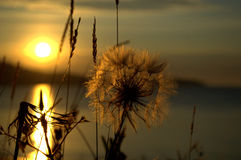 Giant dandelion on the seashore lit by Sunrise Stock Photo