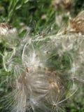 Giant Dandelion Seeds Stock Image