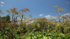Giant dangerous allergic hogweed plant growing in field. Poisonous heracleum