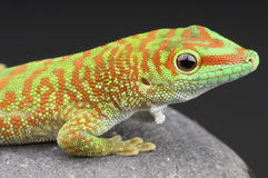 Giant Day gecko. The Giant Day gecko / Phelsuma madagascariensis royalty free stock photography