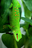 Giant Day Gecko Royalty Free Stock Photo