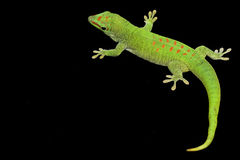 Giant Day Gecko Royalty Free Stock Images
