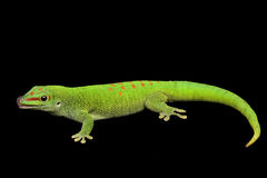 Giant Day Gecko Stock Photos