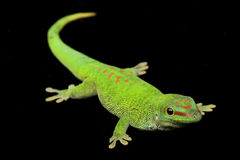 Giant Day Gecko Royalty Free Stock Photography