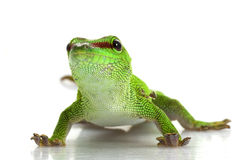 Giant Day Gecko Stock Photo