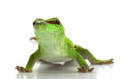 Giant Day Gecko. (Phelsuma madagascariensis grandis) isolated on white background Stock Photo