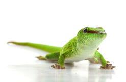 Giant Day Gecko. (Phelsuma madagascariensis grandis) isolated on white background Royalty Free Stock Photos