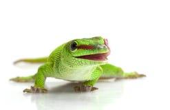 Giant Day Gecko. (Phelsuma madagascariensis grandis) isolated on white background Stock Images