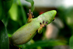 Giant Day Gecko  Phelsuma madagascariensis grandis Stock Photo