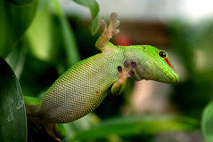 Giant Day Gecko  Phelsuma madagascariensis grandis Royalty Free Stock Images