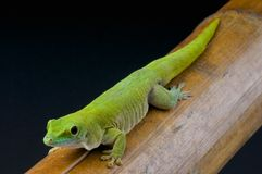 Giant day gecko / Phelsuma madagascariensis kochi Stock Photos