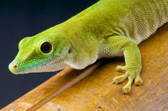 Giant day gecko / Phelsuma madagascariensis kochi Stock Photography