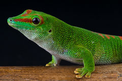 Giant daygecko. Phelsuma madagascariensis grandis, is a diurnal arboreal species of day gecko. These geckos are part of the Phelsuma group, which consists of 70 Royalty Free Stock Photo