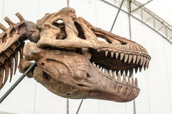 Giant Dinosaur or T-rex skeleton Royalty Free Stock Photography