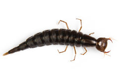 Giant Diving Beetle larva Stock Image