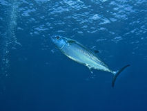 Giant Dogtooth Tuna Royalty Free Stock Photography